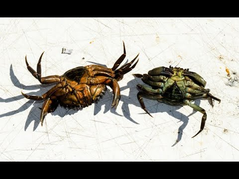 Crab Selection For Blackfish