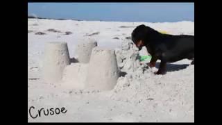 Crusoe the Dachshund Will Destroy All Sand Castles