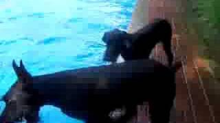 Skyline Giant Schnauzers Day At The Pool
