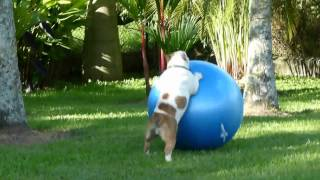 BULLDOG INGLES, Criadero Capricho Kennel - Capricho Luxury Line