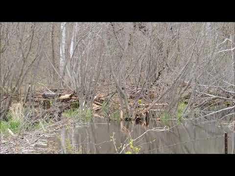 Beaver Dam on Orr Creek