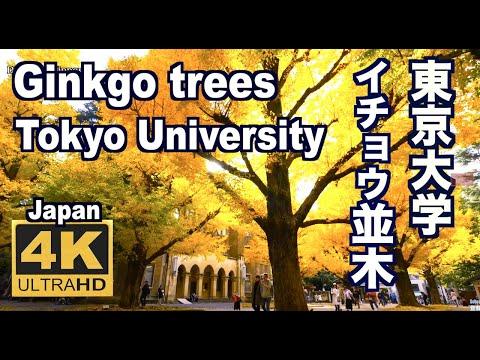 4K 東京大学のイチョウ Ginkgo trees  University of Tokyo 黄葉 旅行 観光 紅葉の名所 銀杏並木 本郷キャンパス GOLDEN GINKGO 東京の秋 黄葉