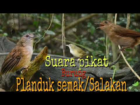 Suara Pikat Burung Planduk Semak Atau Salakan