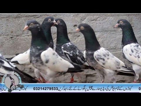 Pakistani kabootar sale