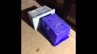 Wheaten Terrier/st. Bernard Pups Abandoned At The Shelter