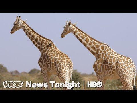 Niger's Giraffes Came Back From Extinction. Now They're Poaching People's Food. (HBO)