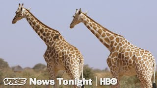 niger-s-giraffes-came-back-from-extinction-now-they-re-poaching-people-s-food-hbo