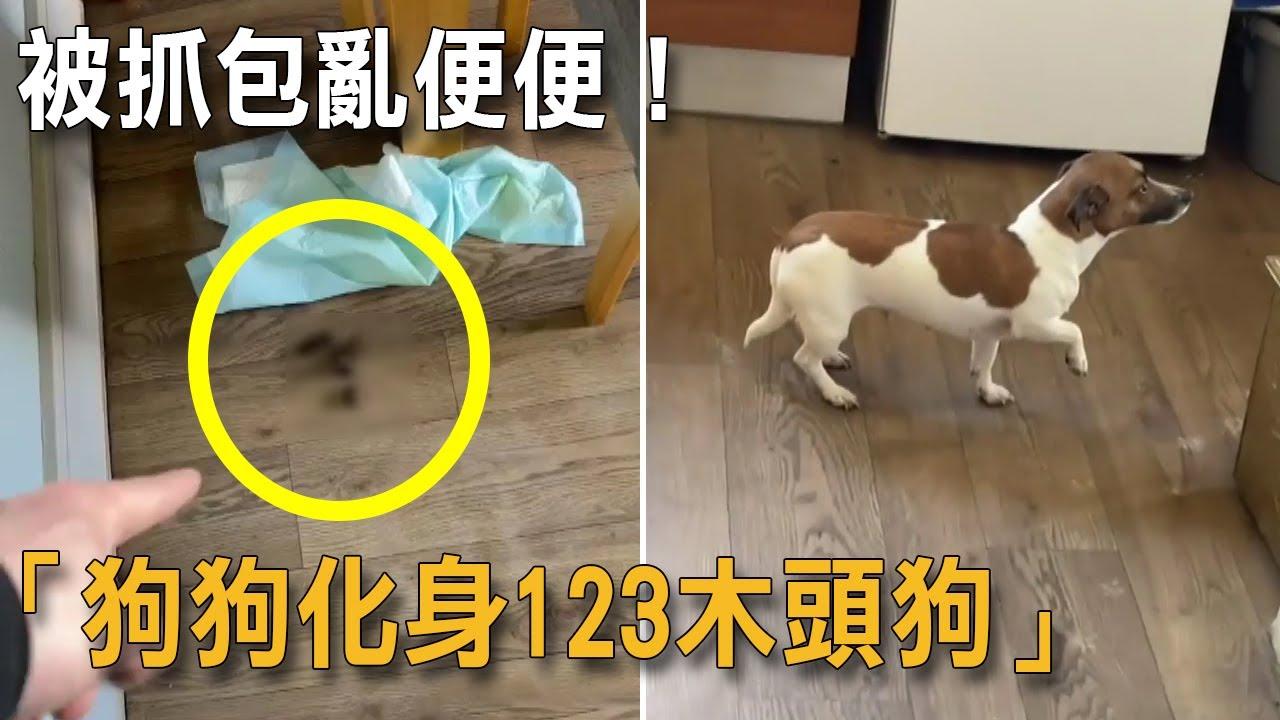 亂便便被當場抓包「狗狗秒化身石像」懸空不敢動:123木頭狗?|狗狗搞笑|123木頭人|如何教狗上廁所