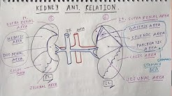 hqdefault - Anterior Relation Of Right Kidney