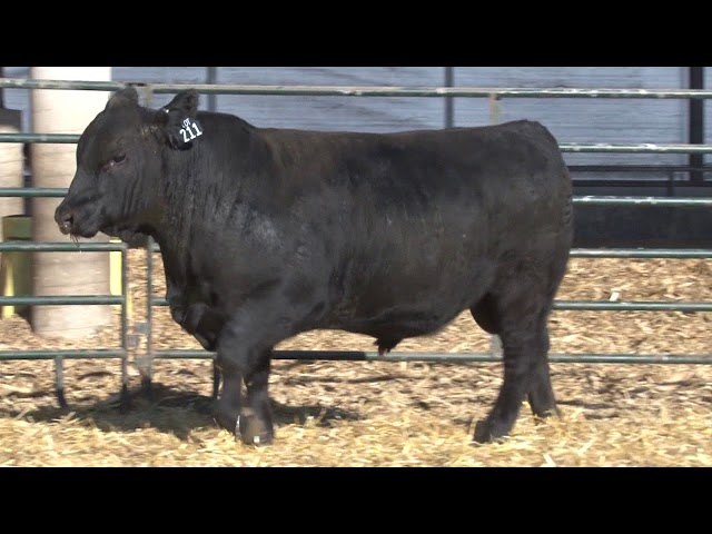 Schiefelbein Angus Farms Lot 211