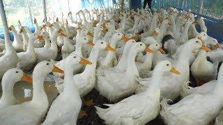 বেইজিং হাঁস পালন করে কলেজ ছাত্র উত্তম কুমারের সফলতা - Pekin Duck Farm - Beijing Duck in Bangladesh