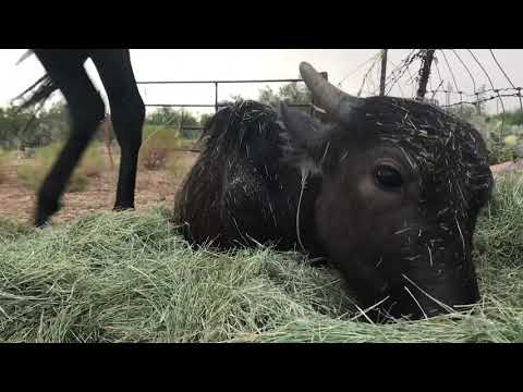 Calm rainstorm with Nandi the Water Buffalo and Crisis the Appaloosa