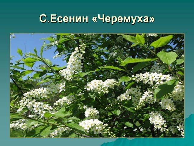 Изображение предпросмотра прочтения – ВиолеттаНаумчук читает произведение «Черёмуха» С.А.Есенина