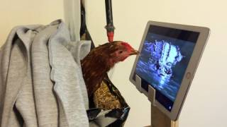 Rescued Hen Enjoys Watching National Geographic