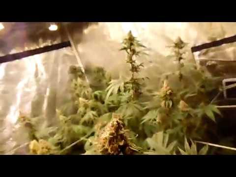 Realstyles Organic LED grow Last Week of Flower