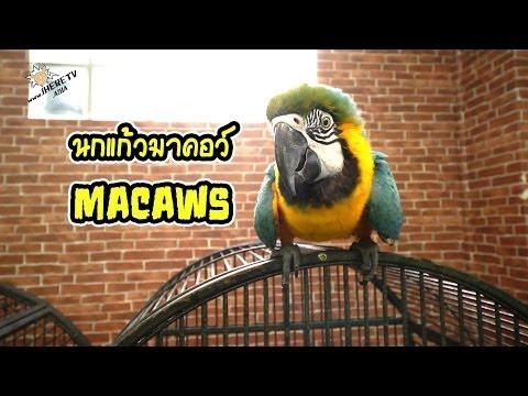 นกมาคอว์ (Macaws)