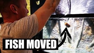 moving-cichlids-to-the-new-aquarium
