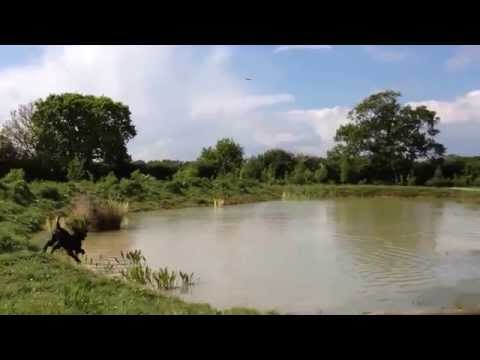 Biddy Irish Water Spaniel IWS puppy 1st time retrieving from water