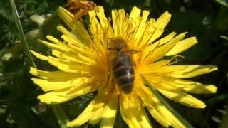 Abeilles récoltant nectar et pollen sur des fleurs de pissenlits