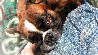 Самая сильная хватка у собаки немецкий боксёр/Мёртвая хватка боксёра