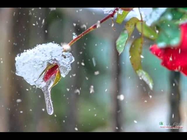 Смотреть видео ЦВЕТЫ И СНЕГ FLOWERS AND SNOW