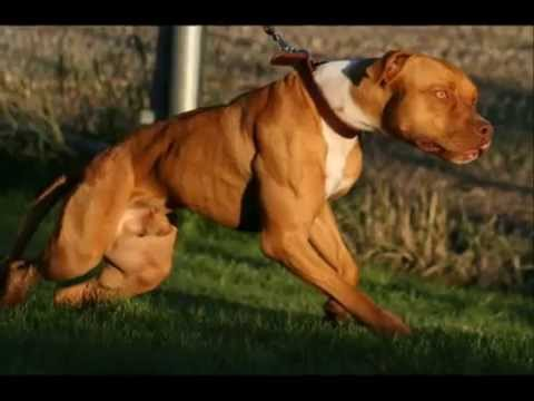 The Real American Pit Bull Terrier