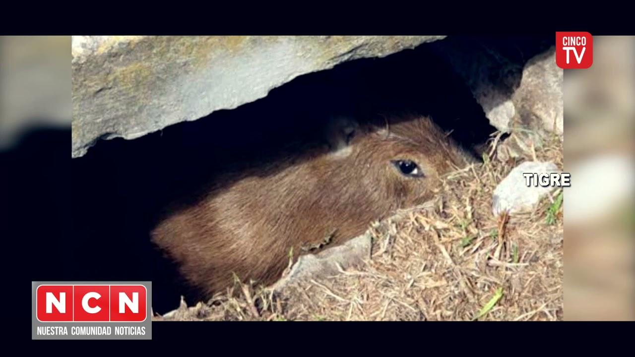 CINCO TV - Personal de Defensa Civil salvó a un carpincho atrapado en una alcantarilla