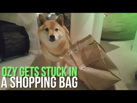Ozy Gets Stuck In A Shopping Bag (Shiba Inu Dog)