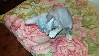 Котенок помесь донской сфинкс