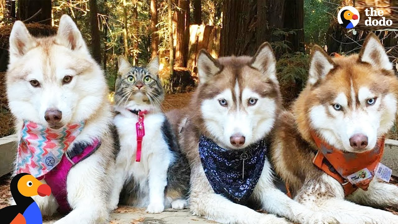 Cat Leads Her Pack Of Husky Dogs