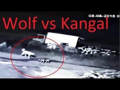 Бесстрашный волк нападает на собаку кангал !!!