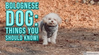 Bolognese Dogs: What you need to know!