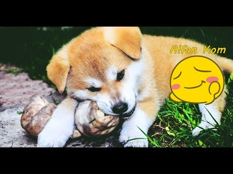 Best Funniest Akita Inu Compilation 2017 TRY NOT TO LAUGH