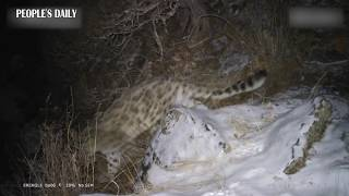 Elusive snow #leopards were caught on infrared camera in SW China's Tibet
