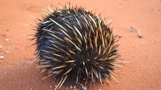 little Echidna we helped