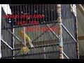 Gaya Mewah Kenari Dewa Kipas Satu Titik Durasi Ngedurrrrr  Mp3 - Mp4 Download