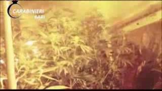 Appartamento trasformato in piantagione di marijuana, arrestato 33enne