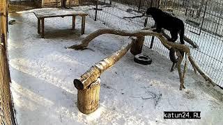 Дальневосточный леопард  на прогулке