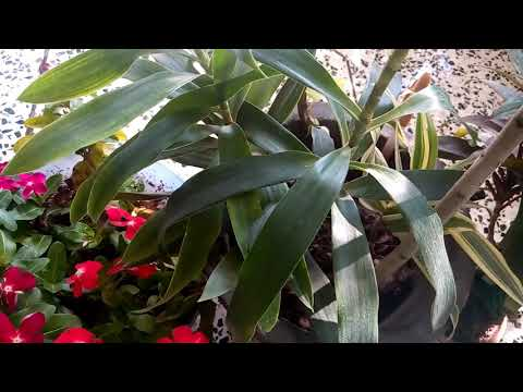 519 -Successful Grafting Experiment in Dracaena Reflexa Plant/ Song of India Plant (Hindi) 23/9/17