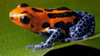Most Dangerous And Deadly Poison dart frog || Facts About dart From