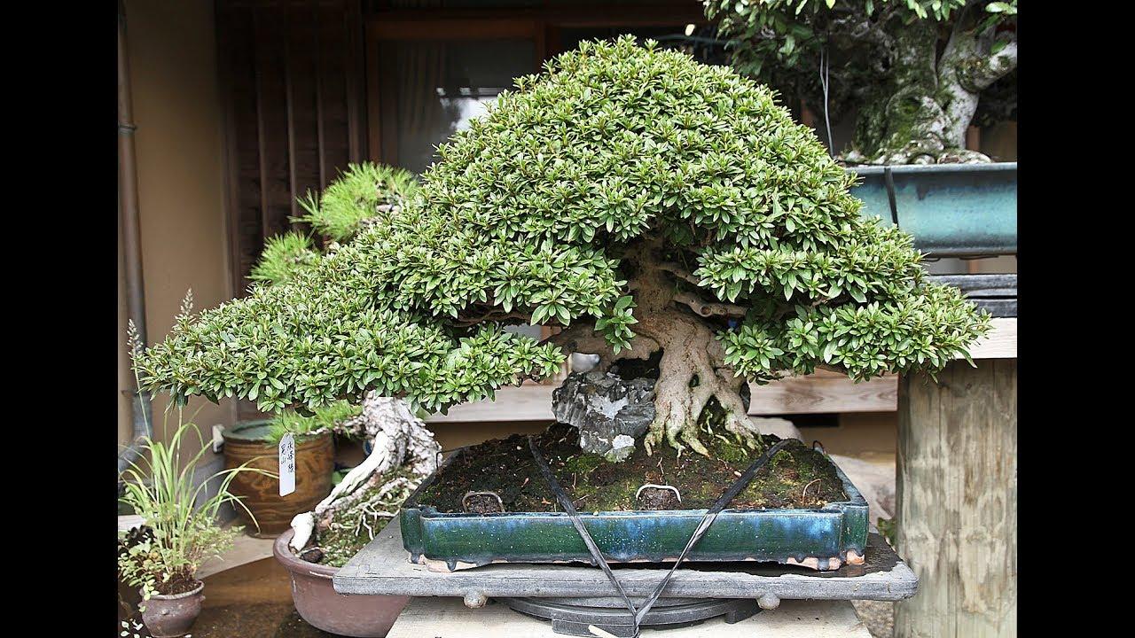 Chinese Fukien Tea Kifu Bonsai Tree Youtube