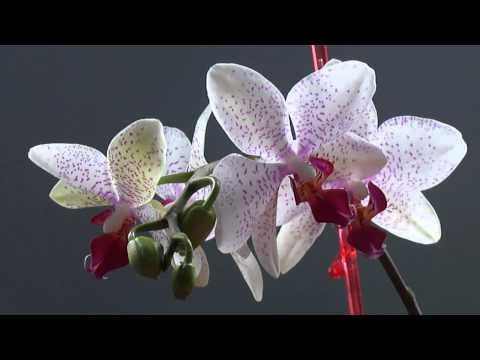 Цветущая орхидея опустила листья, потеряла тургор... Что делать?
