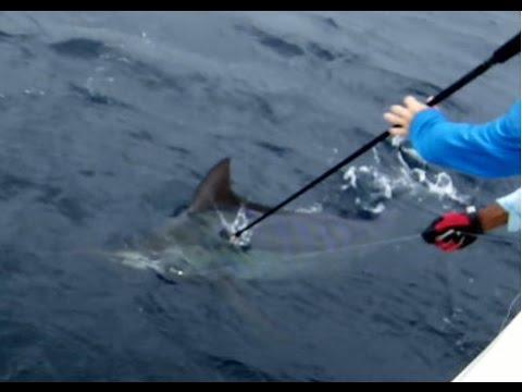 Panama Blue Marlin Tag & Release Hannibal Bank