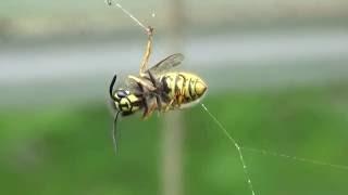 en hveps i edderkoppens net