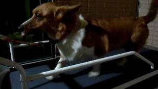 Corgi Is Walking On The Petrun Doggie Treadmill/寵物跑步機/狗用跑步機
