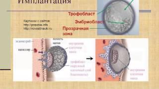 Эмбриология. 2. Начальный период: дробление, имплантация. Гаструляция 1.