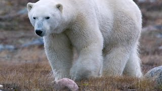 Three Things You Probably Didn't Know About Polar Bears