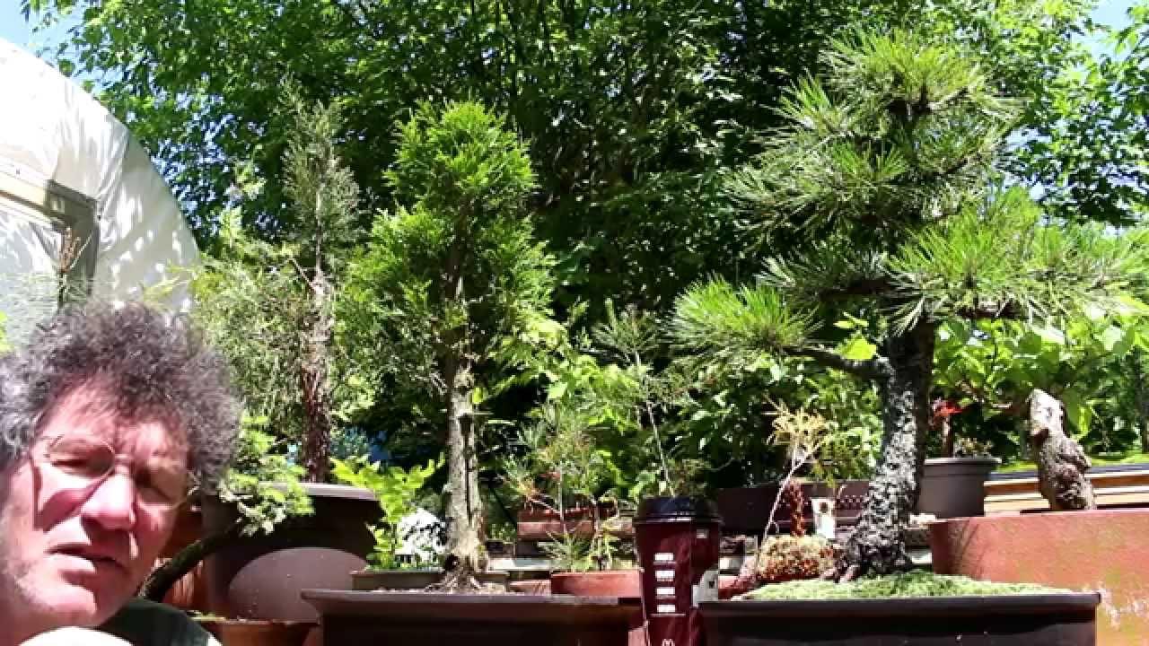 Pruning A White Cedar Bonsai Spring 2014 Youtube