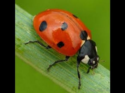Ladybug Facts For Kids Cool Information And Pictures