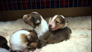 アンバーとほまれの仔犬が18日目を迎えました。 4匹とも食欲旺盛で元気...